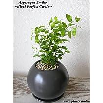 アスパラガス・スマイラックス/ブラックパーフェクトサークル / Asparagus Asparagoides / Black Perfect Circle