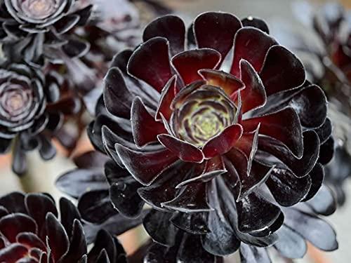 Black Rose Aeonium Arboreum Zwartkop Sụccụlẹnt Lịvẹ Plạnt in 4'' Pot