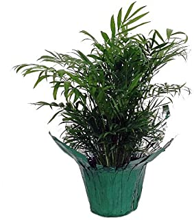 Shop Succulents | Victorian Parlor Palm House Plant, Naturally Air Purifying House Plant, Low Maintenance Lusciously Green Chamaedorea -Bella Palm in 4