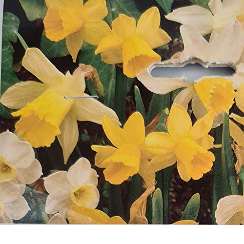 12x Narcissi Rockery Mixed – Trumpet Daffodils - Classic Heralder of Spring - for a Lovely Spring Home Garden