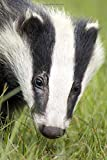 Black and White Badger Portrait: Journal: 150 Page Lined Not
