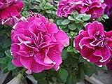 30 Graines/Paquet Plantes De Jardin Sur Balcon Graines De Fleurs De Petunia Polyphyll Ipomoea Nil Graines