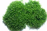 *Teichlebermoos (Riccia fluitans) – lebende Schwimmpflanze