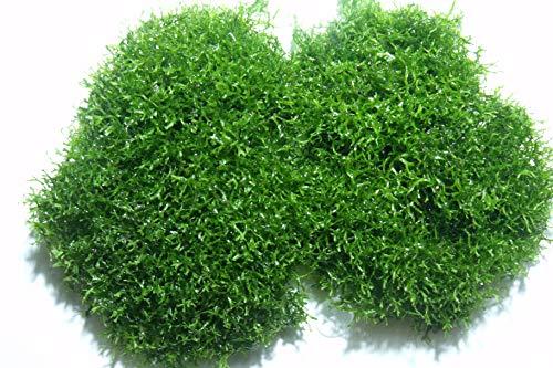 Teichlebermoos (Riccia fluitans) – lebende Schwimmpflanze