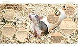 Ratten: So fühlen sich die Kletterkünstler rundum wohl (GU Tierratgeber) - 3