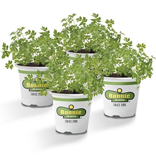 Bonnie Plants Flat Italian Parsley Live Herb Plants - 4 Pack, Biennial, Non-Gmo, Garnish, Seasoning, Salads, Palate Cleanser