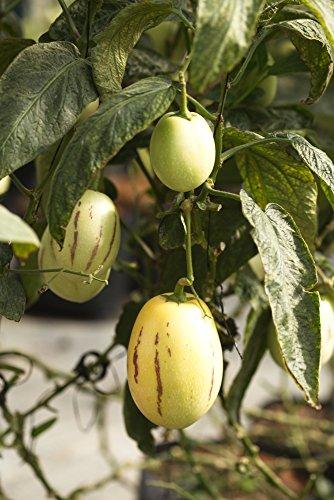 Mini pepino melone - 5 samen, Tzimbalo, Birnenmelone (Solanum caripense)