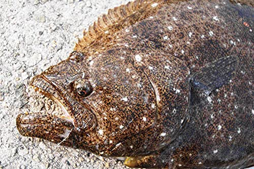 北海道 天然 ヒラメ1尾 1-2kg前後サイズ 活締 血抜き済み