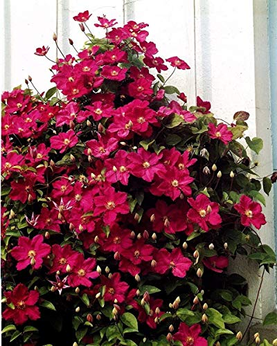 Pot /Ø 14cm Height 65-75cm Set of 2 Climbing Plants Pink Flowers 2X ClematisAcropolis