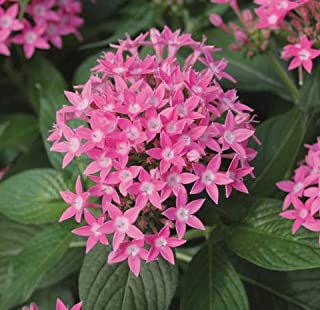 50 Pelleted Pentas Seeds Graffiti Bright Red PERENNIAL BULK SEEDS