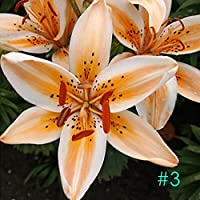 Meflying Stargazer Lily Bulbs - Jumbo Pack