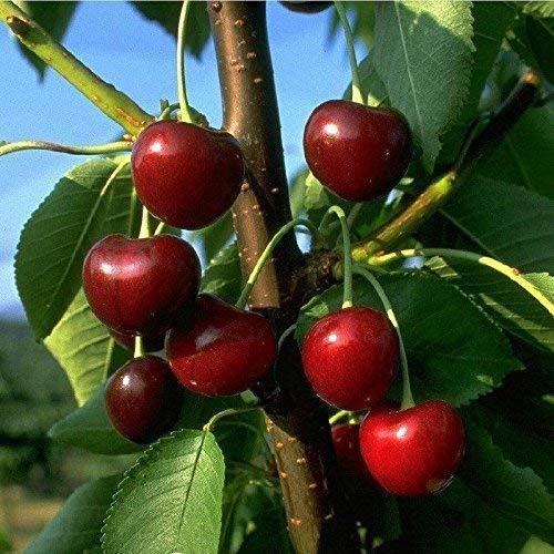 pille-baumschulen -  Obstbaum Kirsche