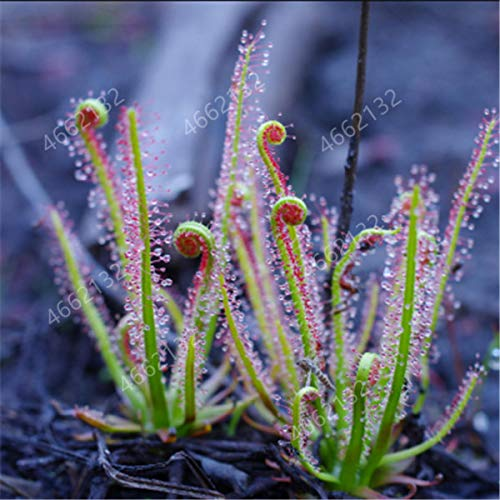 HONIC 100 PC/Los Fleisch fressende Pflanzen Topf Flycatcher Bonsai Sonnentau PlantaDrosera peltata Tabellen-Garten-Pflanz-Strahlung schützen: 15