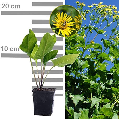 10 x Durchwachsene Silphie: Bienenweide & Energiepflanze, Bienen-Futter- und Tracht-Pflanze, langblühend, (Silphium perfoliatum) Becherpflanze, statt Mais f Biogas (10x Silphie 9 cm Topf)
