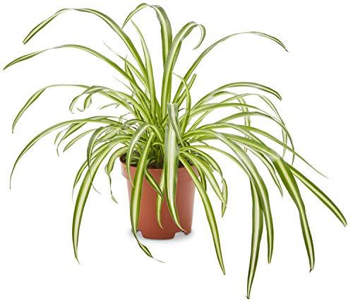 AIRY Grünlilie (Chlorophytum comosum), Luftreinigende Zimmerpflanze verbessert die Luftqualität, Topf-Ø 12 cm, Höhe ca. 25 cm, Sicherer Pflanzen Versand, Qualitätskontrolle, Deutsche Gärtnerei