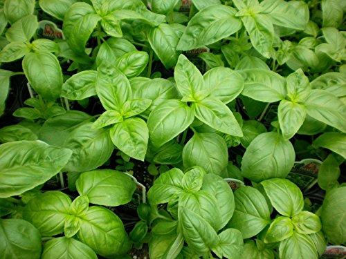 100CT des semences basilic, Genovese, Heirloom Herb, Basilic, non-ogm, Idéal pour Pesto