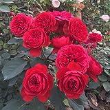 Rose Blumensamen Einfach Wachsen Blütenblatt Pflanzen Indoor Outdoor Bonsai Hausgarten Hof Dekor - Rote Rose, 100 stücke