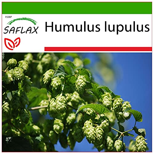 SAFLAX - Luppolo - 50 semi - Con substrato - Humulus lupulus