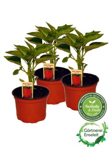 Roter Paprika im 3er Set, 3 rote Paprikapflanzen im Topf, Marktfrische Paprika Pflanze!