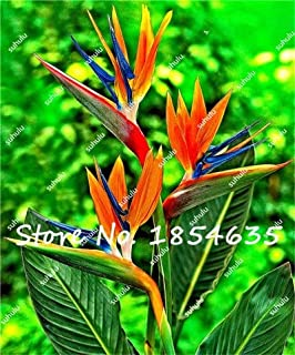 New 100Pcs Heliconia Seeds Rare Color Sucuulent Plant, False Bird of Paradise Indoor Bonsai Plant Flower Seeds, Easy to Grow
