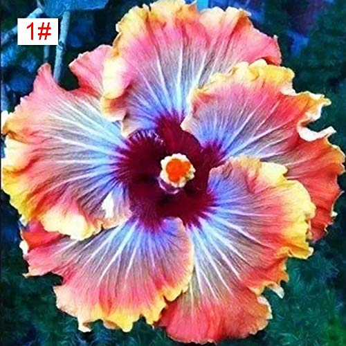 100pcs Japanese Hibiscus Seeds 5 Kinds Hibiscus Rosa-sinensis Flower Seeds Hibiscus Tree Seeds for Flower Potted Home Garden(1#)