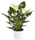 Dehner Große Flamingoblume - Anthurie, weiße Blüten, ca. 40-50 cm, Ø Topf 14 cm, Zimmerpflanze
