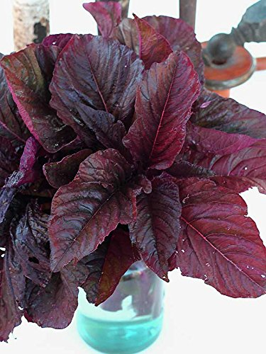 Midnight Red Amaranth - 7 g ~8,500 Seeds - Heirloom, Open Pollinated, Non-GMO, Farm & Vegetable Gardening & Micro Greens Seeds