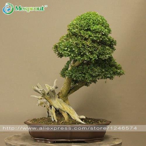 50Home Garden Pflanze, Bonsai, Buchsbaum Samen, nimmt, Insektenschutz, eine gute Wahl für Familien Formaldehyd Getopfte Baum