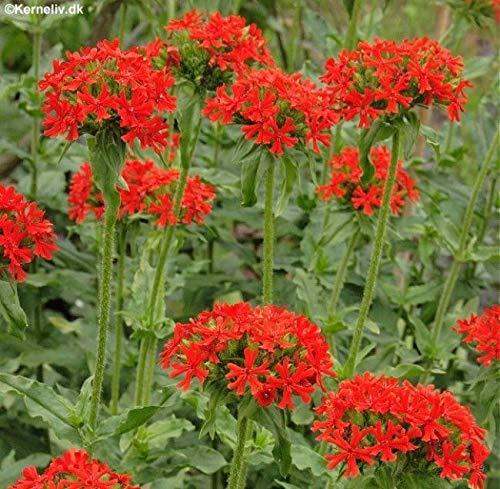 GETSO Samen-Paket Nicht Pflanzen: 5 X-Plug SeedsChalcedonica Hardy ./ Jerusalem-Kreuz