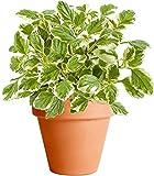 Planta de Incienso con Maceta de Cerámica DECOALIVE Planta Natural