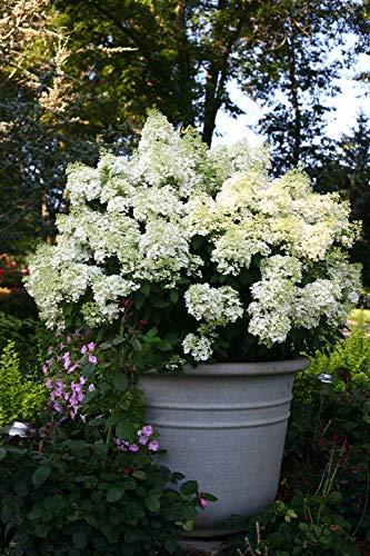 验证获奖者 - 绣球花锅。Bobo(Panicle绣球花)灌木,矮格式与白花,#3尺寸容器