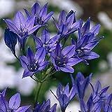 bulbi da fiore alta qualita' per fioritura primaverile (20, triteleia regina fabiola)