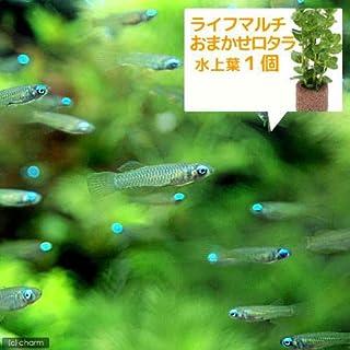 (熱帯魚 水草)アフリカン・ランプアイ Sサイズ(20匹) + ライフマルチ(茶) おまかせロタラ(1個) 北海道・九州航空便要保温