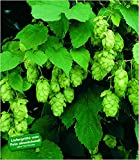 BALDUR Garten Hopfen im 1.5-Liter Containertopf, 1 Pflanze Humulus lupulus Kletterpflanze winterhart
