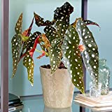 Begonia Maculata | Begonia Manchada | Planta de Interior Popular | 20-30cm con Maceta
