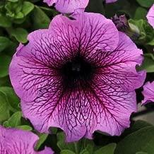 Petunia Sugar Daddy Flower Seeds (Petunia X hybrida) 40+Pellets