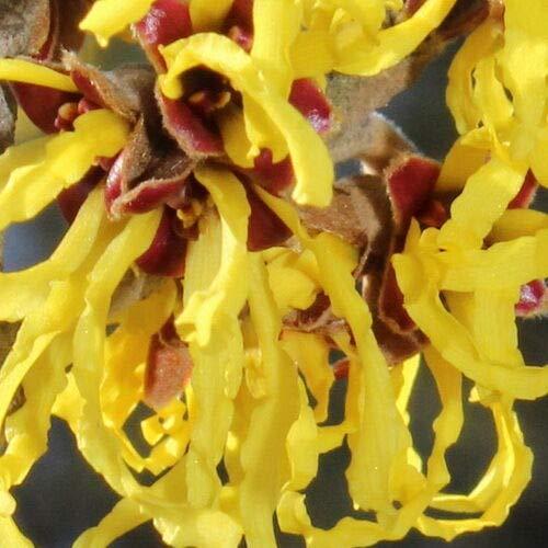 """FERRY Bio-Saatgut Nicht nur Pflanzen: Hamamelis Hamamelis 100 Seeds 15"""" -20"""" Farbe auf Ihren Garten"""