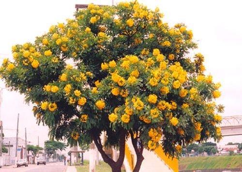 Cassia leptophylla, seltene gelbblühende Art, 10 frische Samen