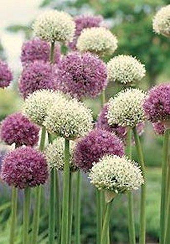 20 bulbes Allium/Ail d'ornement\