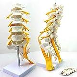 Zoom IMG-1 albb modello anatomico di colonna