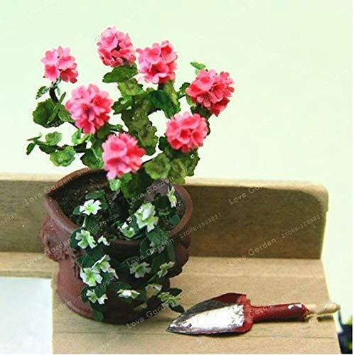 Pinkdose Mini Geranium Blue Pflanzen Bonsai Blüte Staude Blüte Pelargonium Peltatum Mini-Geranie im Topf für Home Garde: Klar