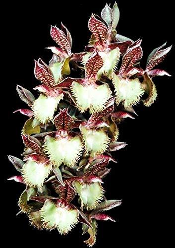 Orquidea Catasetum Amandowa x karen Armstrong