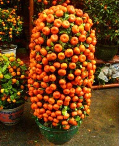 Bloom Green Co. Â¡Promoción!10 Comestibles Jardín de naranjas, Naranjas Ãrboles frutales Plantas frescas, Inicio Bonsai Cítricos Flores de naranjos, ZPNH4U: 1