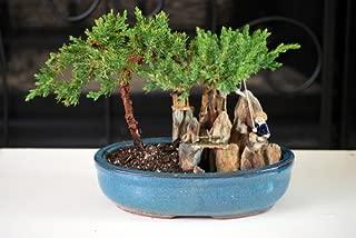 9GreenBox - Juniper Tree Bonsai with Poll and Fisherman