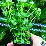 Greenpro Rotala Indica Green Rotundifolia Potted Stems Live Aquarium Plants Freshwater Tank Decoration