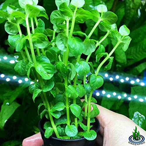 Rotala Indica Green Rotundifolia Potted Stems Live Aquarium Plants Freshwater Tank Decoration by Greenpro