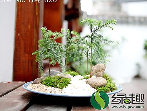 graines AAA 2016 50 Araucaria plantes d'extérieur rafraîchissants Bonsai graines Feuillage semences Plants d'arbres