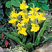 Outsidepride Yellow Canna Seeds - 10 seeds