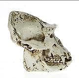 NCDFH Enseñanza Calidad Animal Modelo Masculino Borneo Orangután Cabeza de cráneo Sumatra Resina Estatuilla Escritorio Escultura científica