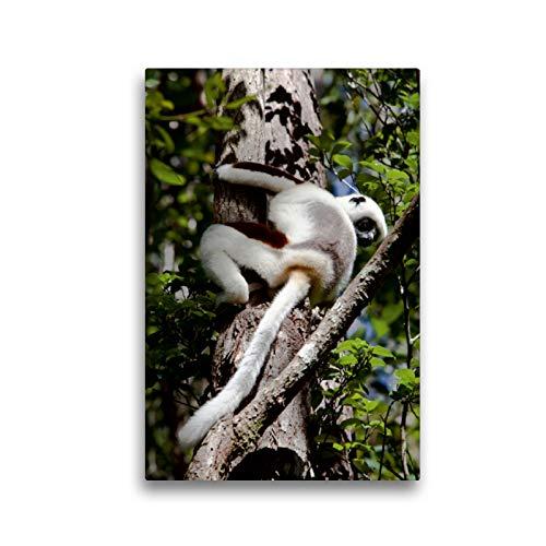CALVENDO Premium Textil-Leinwand 30 x 45 cm Hoch-Format Sifaka Lemur, Madagaskar, Leinwanddruck von Sabine Reuke